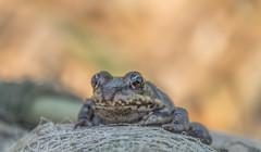 🐸 Frog 🐸 (Torok_Bea) Tags: breki cuki cute frog animal wildanimal bokeh nikon duna dunariver danube nikond7200 d7200 nikon1680 macro wild béka cukiság október oktober portre autumn ősz