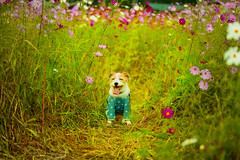 Smiling in the flower Field (moaan) Tags: tanba hyogo japan jp dog jackrussellterrier kinoko portrait dogportrait fieldofflowers cosmosflower flower flowering flora excursion october focusonforeground selectivefocus depthoffield bokeh bokehphotography canon canonphotography canoneos5dsr ef7020mmf28lisiiusm utata 2018