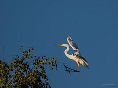 Landeklappen ausgefahren..... (wernerlohmanns) Tags: nikond7200 sigma150600c schärfentiefe natur wildlife wasservögel reiher silberreiher outdoor deutschland naturpark nabu