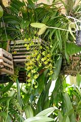 Gongora galeata var. luteola species orchid (nolehace) Tags: gongora galeata var luteola species orchid 918 flower bloom plant summer nolehace fz1000 sanfrancisco