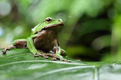 2J4A8074 (ajstone2548) Tags: 12月 樹蛙科 兩棲類 翡翠樹蛙