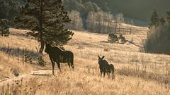 Backlit Moose (RkyMtnGrl) Tags: moose cow calf wildlife nature landscape scenery colorado 2018 nikon 28300mm autumn fall backlight