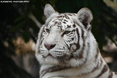 White tiger - Zoo Amneville (Mandenno photography) Tags: animal animals dierenpark dierentuin dieren ngc nature france frankrijk white tiger tijger tigers tijgers whitetiger zoo zooamneville amneville bigcat big cat cats