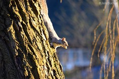 Squirrel on tree (Jen Buckle) Tags: squirrel greysquirrel tree nut jenbuckle nikon animal mammal wildlife oultonbroad suffolk