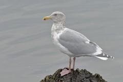 Glaucous-winged Gull (Larus glaucescens) (SharifUddin59) Tags: larusglaucescens glaucouswingedgull gull bird water nisquallynwr olympia wa washington