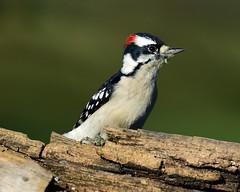 DSC_3043.jpg=101718 (laurie.mccarty) Tags: downywoodpecker animal bird bokeh wildlife wood
