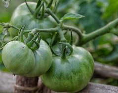Green Tomatoes (@nikondxfx (instagram)) Tags: green tomato macro macrophotography nikon tamron tamronlens macrolens tamron90mm nikond750 fullframe kolkata raw