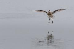 Clear to land... (Kevin E Fox) Tags: shortbilleddowitcher dowitcher bombayhookwildliferefuge bombayhook delaware bird birding birdwatching birds sigma150600sport sigma shorebird shorebirds nature nikond500 nikon