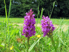 050618#036 Rufford Hall Northern Marsh Orchid (Steveox55) Tags: lancashire rufford wildflower