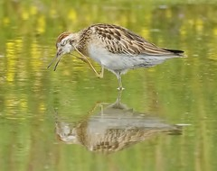"""Quiet Please, I am trying to think"" (oliverred) Tags: sharptailedsandpiper coth naturethroughthelens coth5 alittlebeauty"