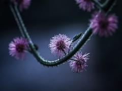 M O O D Y (Vivi Black) Tags: outside nature jungle macro shadows light bloom purple mood