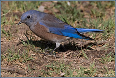 Western Bluebird 9379 (maguire33@verizon.net) Tags: frankgbonelliregionalpark sialiamexicana westernbluebird bird male wildlife