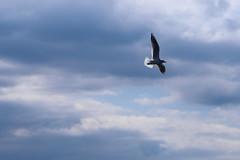 mouette5 (marcel.photo) Tags: möwe mouette vogel bird vevey schweiz switzerland genfers lac lémon