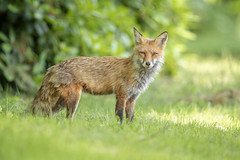 Astute Fox (DTT67) Tags: redfox fox animal mammals wildlife nature nationalgeographic maryland canon 1dxmkii 500mmii 14xtciii