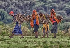COLLECTING STICKS ON THE MARA (gazza294) Tags: masaimara masai mara kenya africa poster naturetrek flicker flickr flckr flkr flickrexplore gazza294 garymargetts nationalgeographic