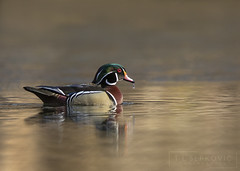 Wood Duck Drake (T L Sepkovic) Tags: woodduck duck waterfowl canon 5dmkiv wildlife wildlifephotogrpahy pawildlife