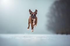 Winter action (Tamás Szarka) Tags: dog pet animal boxer puppy