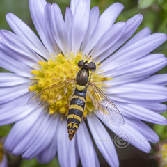 _IMG7026  Hoverfly (Pete.L .Hawkins Photography) Tags: petehawkins petelhawkinsphotography petelhawkins petehawkinsphotography pentax 100mm macro pentaxpictures pentaxk1 petehawkinsphotographycom fantasticnature fabulousnature incrediblenature naturephoto wildlifephoto wildlifephotographer naturesfinest unusualcreature naturewatcher insect invertebrate bug 6legs compound eyes creepy crawly uglybug bugeyes fly wings eye veins flyingbug flying