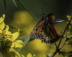 MonarchButterfly_SAF6598 (sara97) Tags: danausplexippus butterfly copyright©2018saraannefinke endangered insect missouri monarch monarchbutterfly nature photobysaraannefinke pollinator saintlouis towergrovepark flight inflight