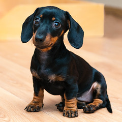 Cutie (Shumilinus) Tags: 2013 50mmf18 nikond90 portrait animals dogs puppies dachshunds littledogs cutedogs