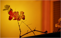 magie d'autunno ... (miriam ulivi) Tags: miriamulivi nikond3200 autunno autumn foglie leaves colors colori nature