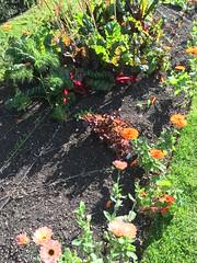 Colourful bed (goforchris) Tags: edinburgh rbge botanicalgardens autumn colours flowers vegetables experimental