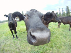 GOPR7090 (Stacy Lackie) Tags: gopro cow cattle steers farm outdoors nature closeup portrait washington nose selfie mammal