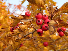 Autumn colors (Oleg Elkov) Tags: hawthorn berries branch autumn leaves tree healing red ripe fresh growing healthy leaf nature fall berry fruit plant season yellow medicinal food orange garden bright bush foliage color