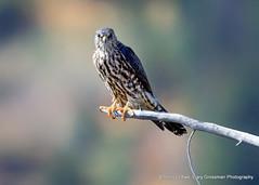 Peregrine or Merlin? (Gary Grossman) Tags: falcon peregrine bird perch tetons mountains wild wildlife park garygrossmanphotography nationalpark grandtetonnationalpark peregrinefalcon raptor birdofprey wyoming