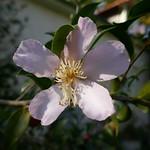 Au jardin, camélia d'automne ou Camellia Sasanqua, Bosdarros, Béarn, Pyrénées Atlantiques, Nouvelle-Aquitaine, France. thumbnail