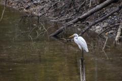 La Grande Aigrette (grandjean.patrick) Tags: nikon d500 200500mm nature wildlife oiseau grandeaigrette