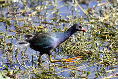American Purple Gallinule (Porphyrio martinicus) (Gerald (Wayne) Prout) Tags: americanpurplegallinule porphyriomartinicus animalia chordata aves gruiformes rallidae porphyrio martinicus rails animals animal bird birds fauna waterfowl waterbirds wildlife nature lakeparker lakeparkerpark cityoflakeland polkcounty florida usa prout geraldwayneprout canon canoneos60d eos 60d digital dslr camera canonlensef70300mmf456isusm lens ef70300mmf456isusm photographed photography lake parker park city lakeland polk county stateofflorida american purple gallinule