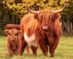 Highland Coo's at Oak Fold Farm. (joanjbberry) Tags: highland cattle highlandcoos cows cow cheshire farmland farmanimals farm rural pedigree pedigreecattle fujifilmxt3 xt3 fujifilm outdoors animals grassland