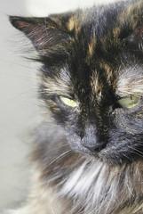 DSC05151 (coonfide) Tags: siberea cats macro couple portrait cute photoshoot nature amateur mature