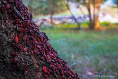 Bugs (beppeverge) Tags: autumn autunno beppeverge bosco fall forest natura sottobosco balangera piemonte italia it bugs