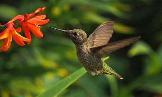 Hummingbird in the Garden - Royal Roads, British Columbia