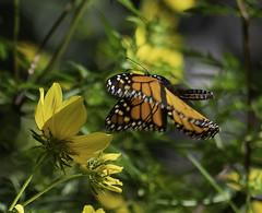 MonarchButterfly_SAF7089 (sara97) Tags: danausplexippus butterfly copyright©2018saraannefinke endangered missouri monarch monarchbutterfly nature photobysaraannefinke pollinator saintlouis towergrovepark
