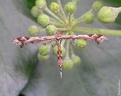 1497 Amblyptilia acanthadactyla (Beautiful Plume) (Eyeing moths, mostly) Tags: moth plume