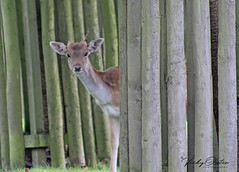 Hide & seek with a fawn (not the best shot but I like it) (vickyouten) Tags: fawn babydeer deer nature wildlife canon1300d canon dunhammassey altrincham vickyouten