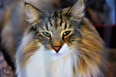 Il Gatto (maurizio.pretto) Tags: gatto cat animali animals