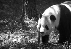Panda II (Alexander Day) Tags: panda bear mammal mammals animal animals fauna blackandwhite monochrome national zoo smithsonian washington dc alex alexander day