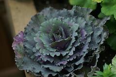 DSC09221- Purple Green Veggie (oliveplum) Tags: vegetable plant flowerdome gardensbythebay leica60f28macro bokeh sony singapore purple green