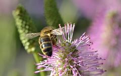 honey bee on Sanguisorba (conall..) Tags: bee honeybee apis mellifera apismellifera pollination flower pollen load pollenload colour honey sanguisorba closeup raynox dcr250 macro rowallane national trust saintfield walled garden northernireland