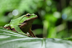2J4A8065 (ajstone2548) Tags: 12月 樹蛙科 兩棲類 翡翠樹蛙