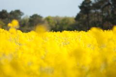 _DSC0985 (gael.lebrun56) Tags: fleur colza rape beez flower macro insect