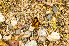 7K8A7602 (rpealit) Tags: scenery wildlife nature weldon brook management area pearl crescent butterfly