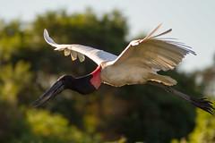 _MG_2134.jpg (richard k hurrell) Tags: jabirumycteria pantheraonca wildlife nature photography pantanal richardhurrell cuiabáriver jabirustork bird southamerica wildlifephotography