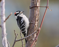 Downy Woodpecker (Dryobates pubescens) (Gavin Edmondstone) Tags: dryobatespubescens downywoodpecker woodpecker male bird oakville ontario