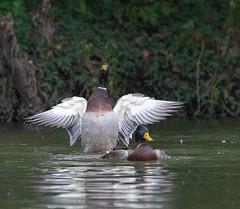 Disco ducks (Melinda G Pix) Tags: outdoors nature pondlife bird waterfowl ducks