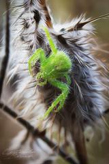 La Thomise hirsute (pixtoleros) Tags: ifttt 500px spider araignée green vertical bug insect macro montpellier herault languedocroussillon